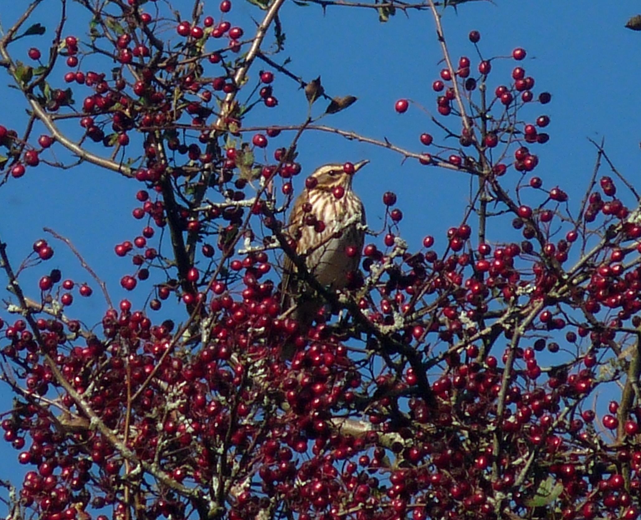 Hawthorn Tree Berries Berries And Fruit on Trees